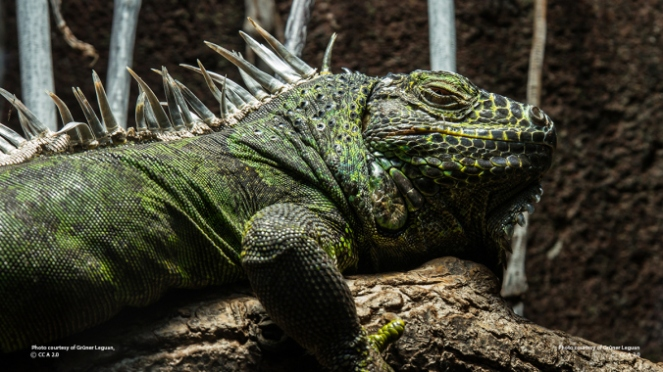 green_iguana_profile