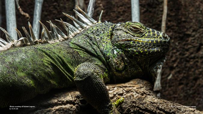green_iguana_profile