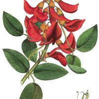 Chilijchi Uchu Cocinando con una flor (Flores de ceibo)